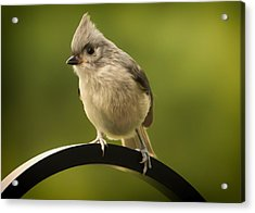 Flowing Tufted Titmouse Acrylic Print by Bill Tiepelman