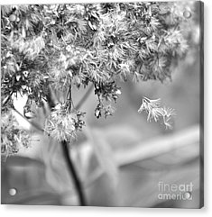 Fluffy  2 Acrylic Print by Tanya  Searcy