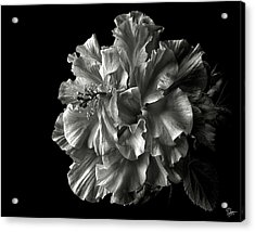 Fluffy Hibiscus In Black And White Acrylic Print