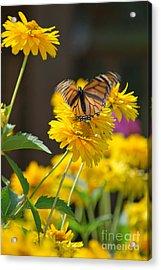 Fluttering Monarch Butterfly Acrylic Print by Lila Fisher-Wenzel