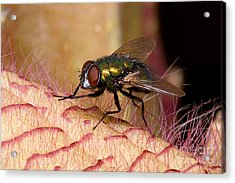 Fly On Carrion Flower Acrylic Print by Dant� Fenolio