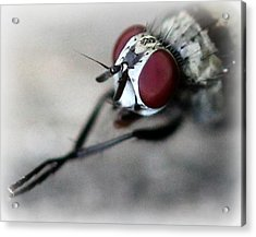 Fly Rubbing His Legs Together  Acrylic Print by Maureen  McDonald