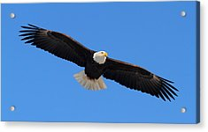 Flying Bald Eagle Acrylic Print by Doug Lloyd
