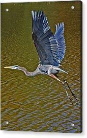 Flying Blue Heron Acrylic Print