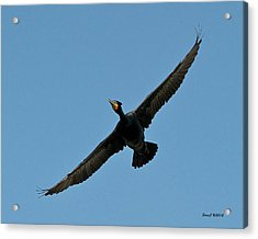 Acrylic Print featuring the photograph Flying Cormorant by Stephen  Johnson