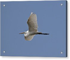 Acrylic Print featuring the photograph Flying Egret by Jeannette Hunt