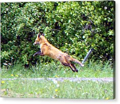 Flying Red Fox Acrylic Print by Mark Haley