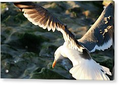 Acrylic Print featuring the photograph Flying Seagull by Michael Rock