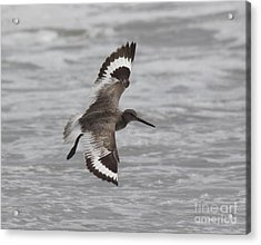 Flying Willet Acrylic Print by Chris Hill