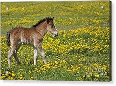 Foal In Field Acrylic Print by Conny Sjostrom