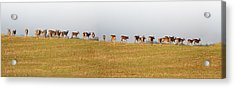 Follow The Herd Acrylic Print