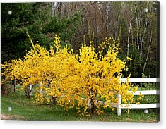 Forsythia In Bloom Acrylic Print