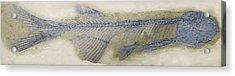 Fossil Fish, Sem Acrylic Print by Steve Gschmeissner