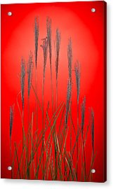 Fountain Grass In Red Acrylic Print by Steve Gadomski