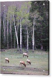 Four Elk   Four Aspen Acrylic Print