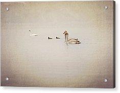 Four Swan Swimming Acrylic Print