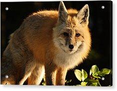 Fox In The Light Acrylic Print by Warren Marshall