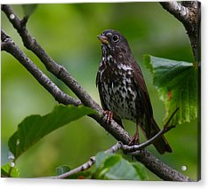 Fox Sparrow Acrylic Print by Doug Lloyd