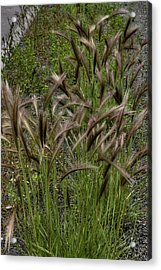 Fox Tail Grass Acrylic Print by Grover Woessner