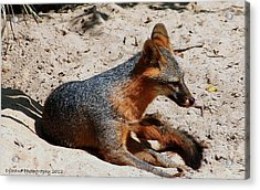 Acrylic Print featuring the photograph Foxie by Debra Forand