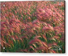 Acrylic Print featuring the photograph Foxtail Barley by Doug Herr