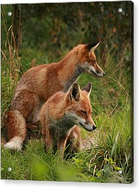 Foxy Pair Acrylic Print by Jacqui Collett