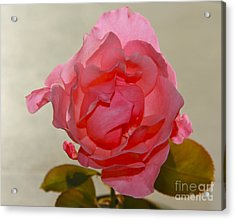 Fragile Pink Rose Acrylic Print