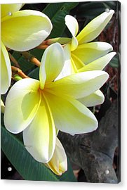 Acrylic Print featuring the photograph Frangipani Up Close by Debi Singer