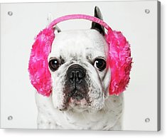 French Bulldog With Ear Roses On White Background Acrylic Print by Retales Botijero
