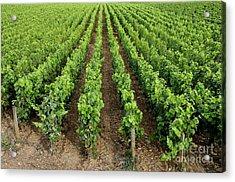 French Vineyard Acrylic Print by Bernard Jaubert