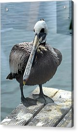 Acrylic Print featuring the photograph Friendly Pelican by Carla Parris