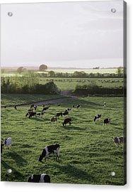 Friesian Bullocks, Ireland Herd Of Acrylic Print by The Irish Image Collection