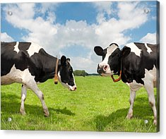 Acrylic Print featuring the photograph Frisian Cows by Hans Engbers