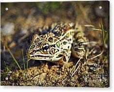 Frog Acrylic Print by Elena Elisseeva