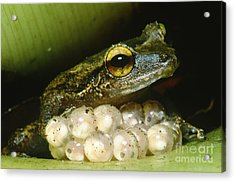 Frog Guarding His Eggs Acrylic Print by Dante Fenolio