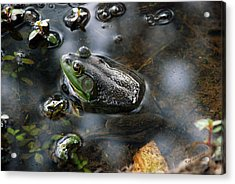 Frog In The Millpond Acrylic Print