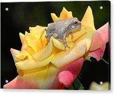 Acrylic Print featuring the photograph Frog Meets Rose by Kathy Gibbons