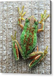 Frog On Wall Acrylic Print by Billie-Jo Miller