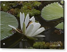 Acrylic Print featuring the pyrography Frogs Paradise.  by Gary Bridger