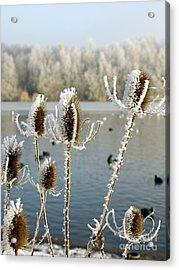 Frosty Teasel Acrylic Print by John Chatterley
