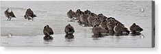 Acrylic Print featuring the photograph Frozen Flock by Kevin Munro