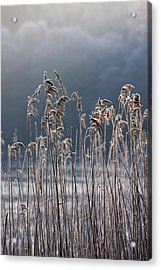 Frozen Reeds At The Shore Of A Lake Acrylic Print