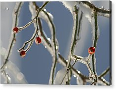 Frozen Rose Hips Acrylic Print