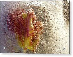 Frozen Tulip 2 Acrylic Print