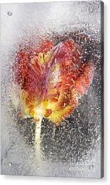 Frozen Tulip 3 Acrylic Print
