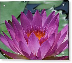 Fuchsia Water Lily Acrylic Print by Chad and Stacey Hall