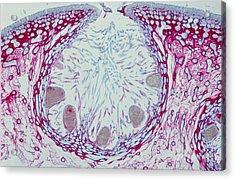 Fucus Sp. Algae, Lm Acrylic Print by M. I. Walker