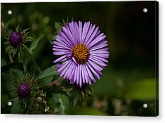 Full Aster Acrylic Print by Jessica Lowell