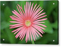 Full Bloom Acrylic Print by Daniela Duncan