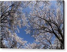 Full Bloomed Sakura Acrylic Print by Tad Kanazaki